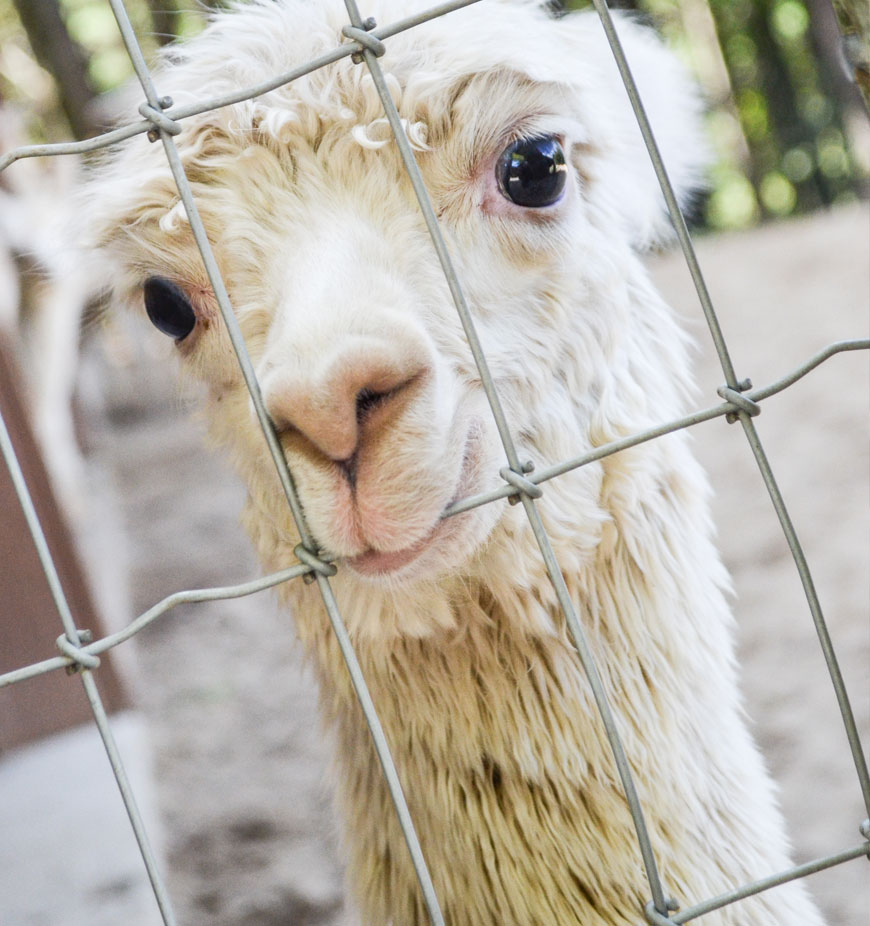 About-The-Alpacas-Of-Spring-Acres-Bed-Breakfast-Zanesville-Ohio