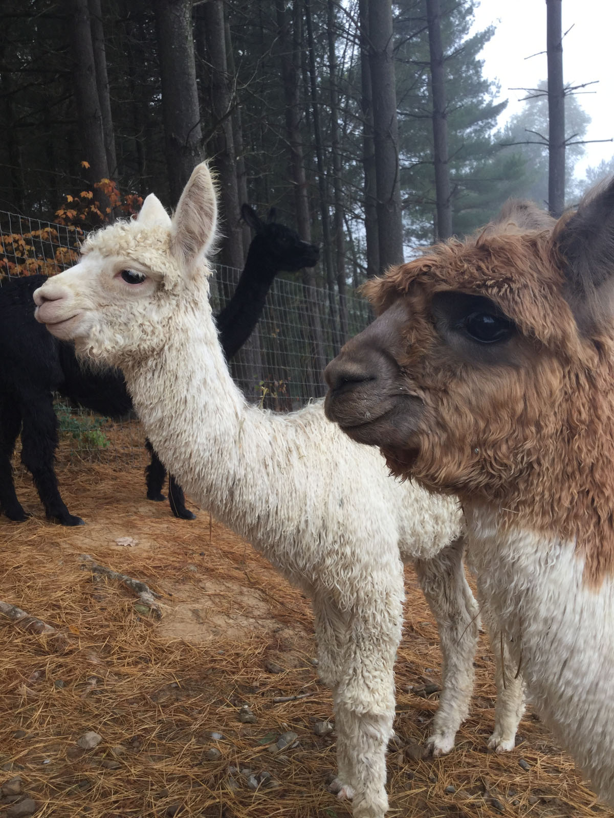 Alpacas Crias Beauty Romeo 2
