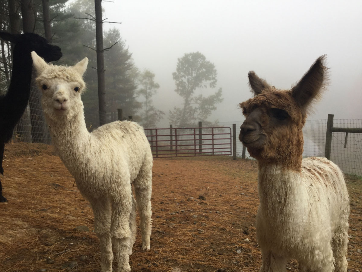 Alpacas Crias Beauty Romeo 3