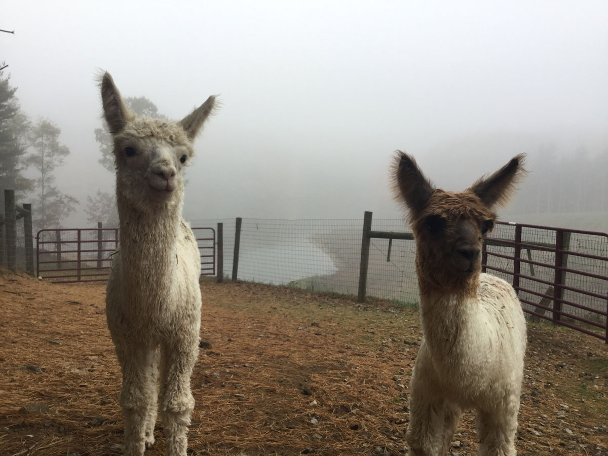 Alpacas Crias Beauty Romeo 4