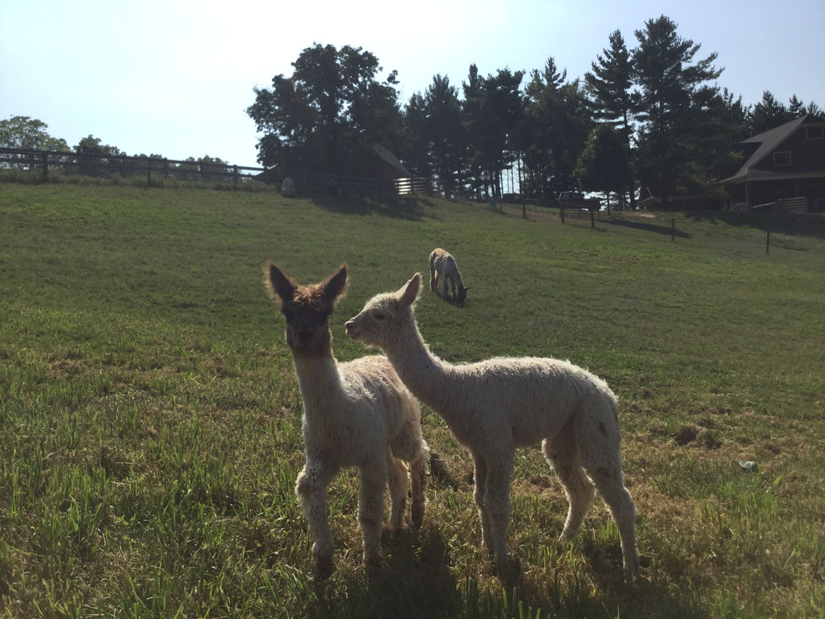 Alpacas Crias Beauty Romeo 6