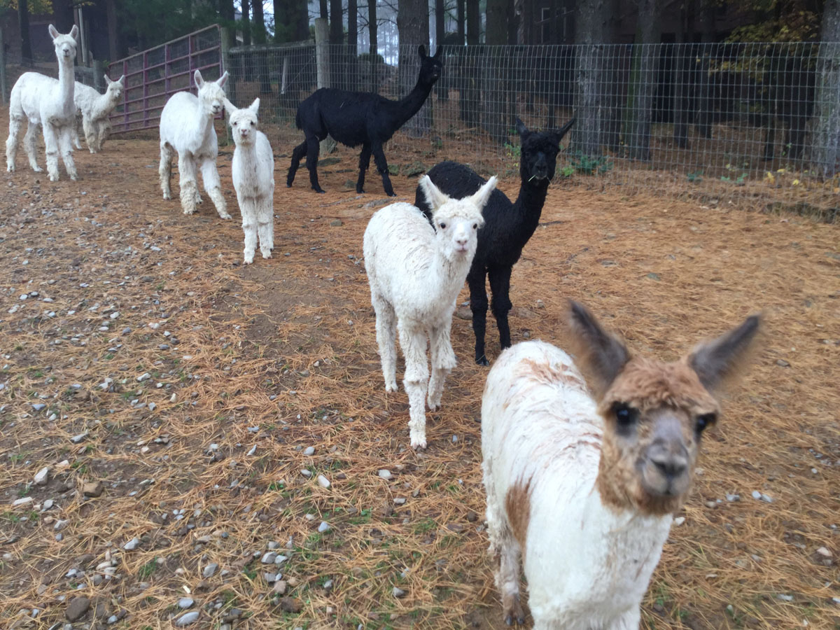 Alpacas Crias Beauty Romeo Merlin Ella 1