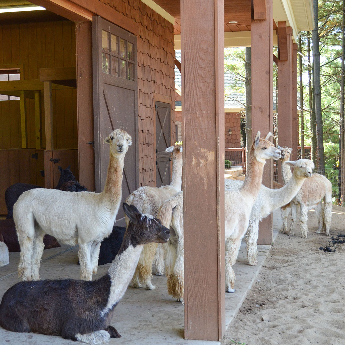 Alpacas Of Spring Acres Alpaca Sales Yarn Bed Breakfast Conference Center 1