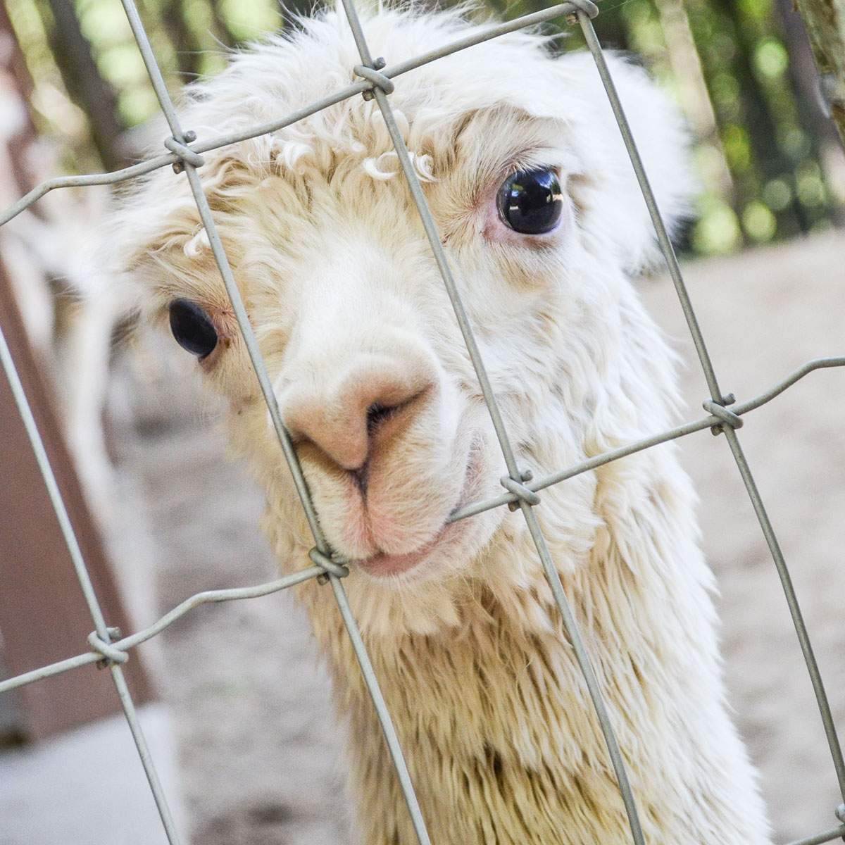 Alpacas Of Spring Acres Alpaca Sales Yarn Bed Breakfast Conference Center 3