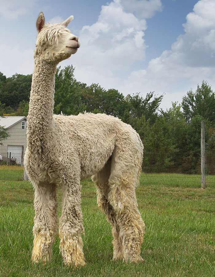 King Alpacas Spring Acres BellBorne Accoyo King Of Diamonds