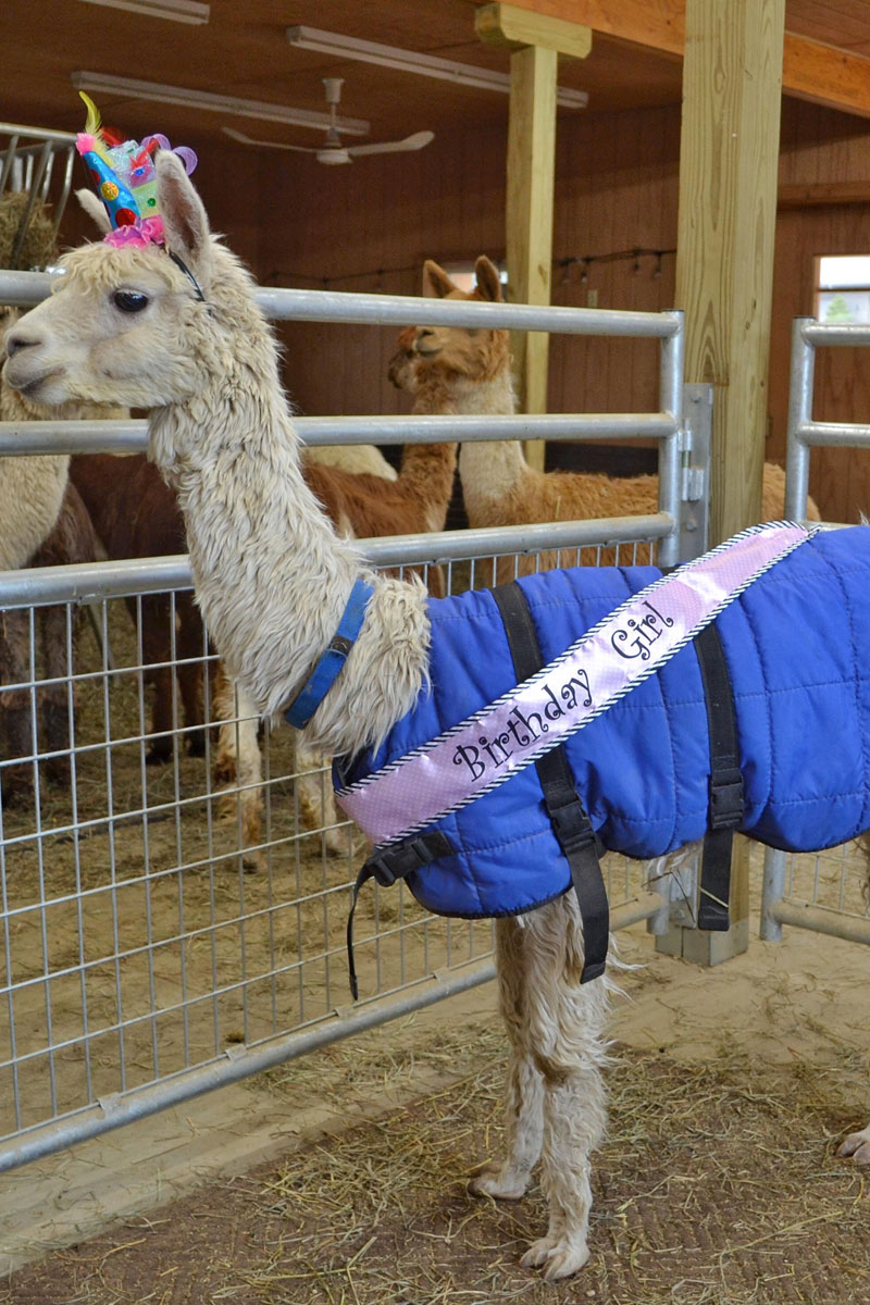 No Shame Alpaca 17th Birthday 1