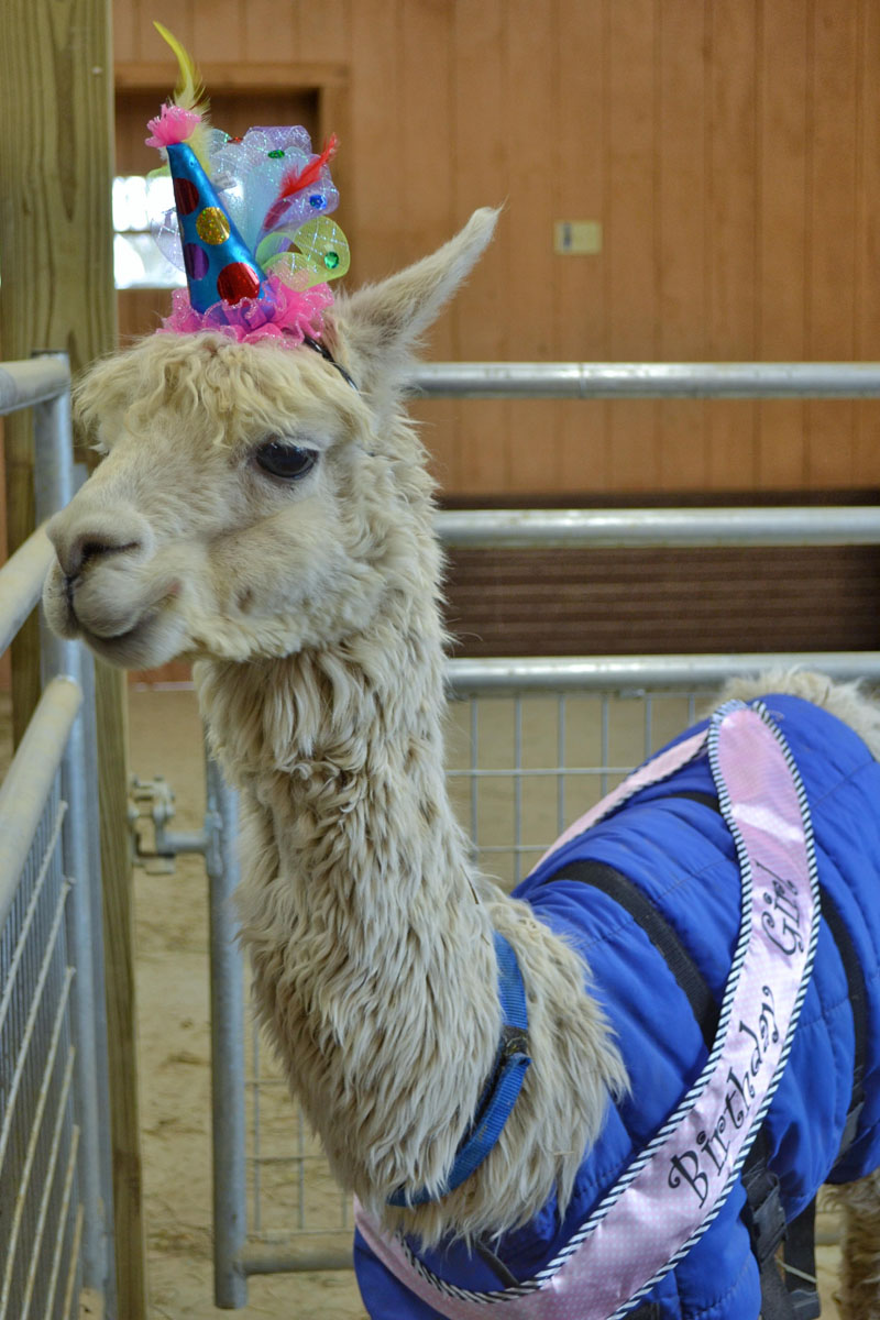 No Shame Alpaca 17th Birthday 2