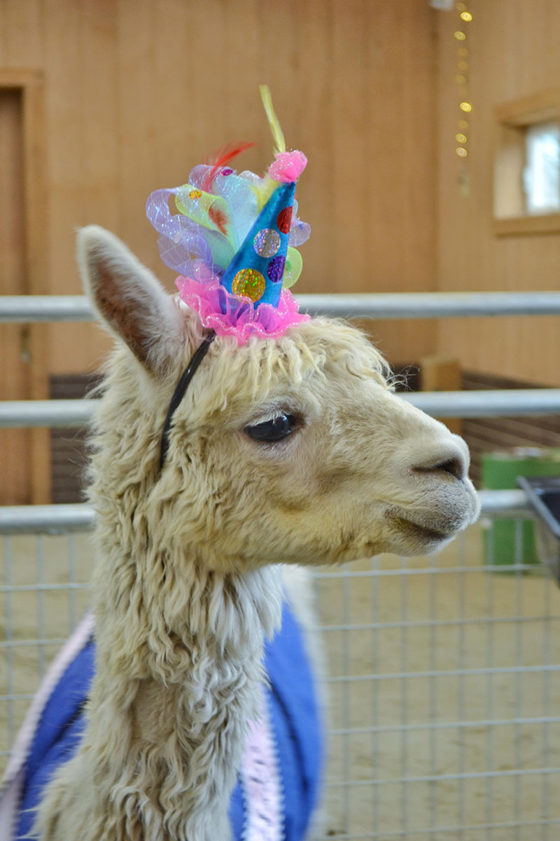 No Shame Alpaca 17th Birthday 3