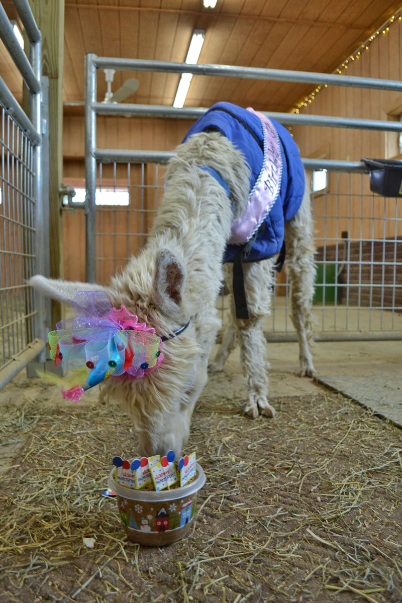 No Shame Alpaca 17th Birthday 4