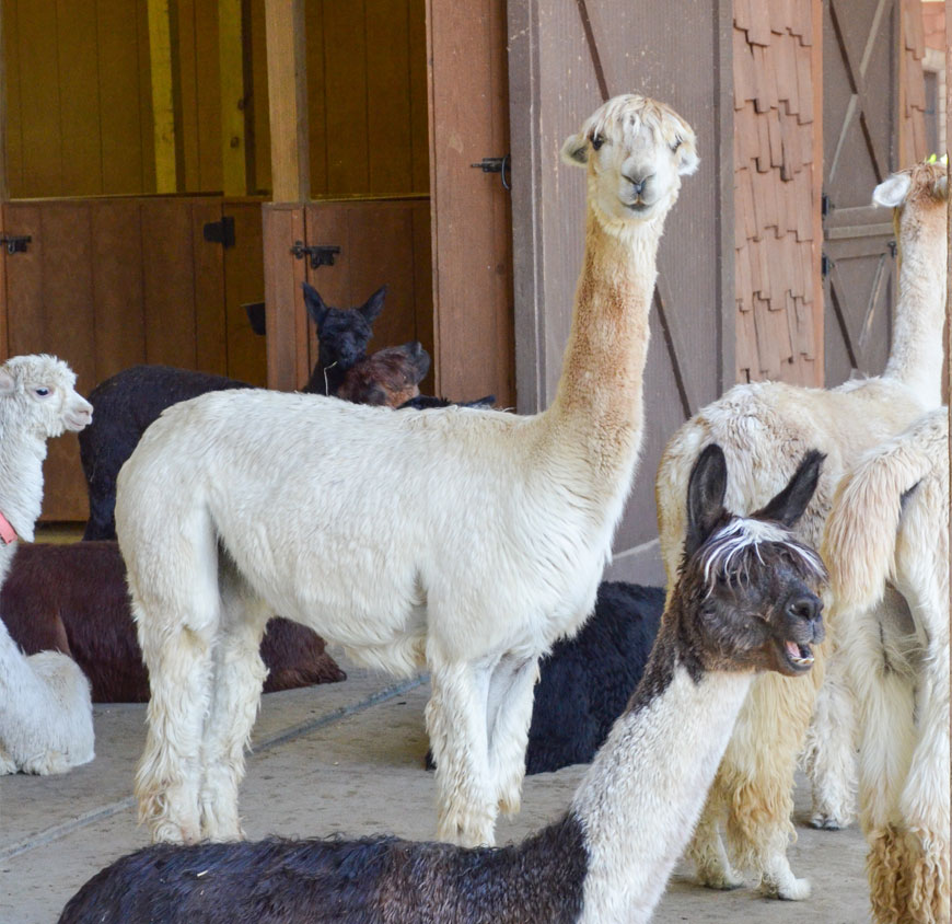 Suri-Alpacas-Spring-Acres-Buy-Alpacas