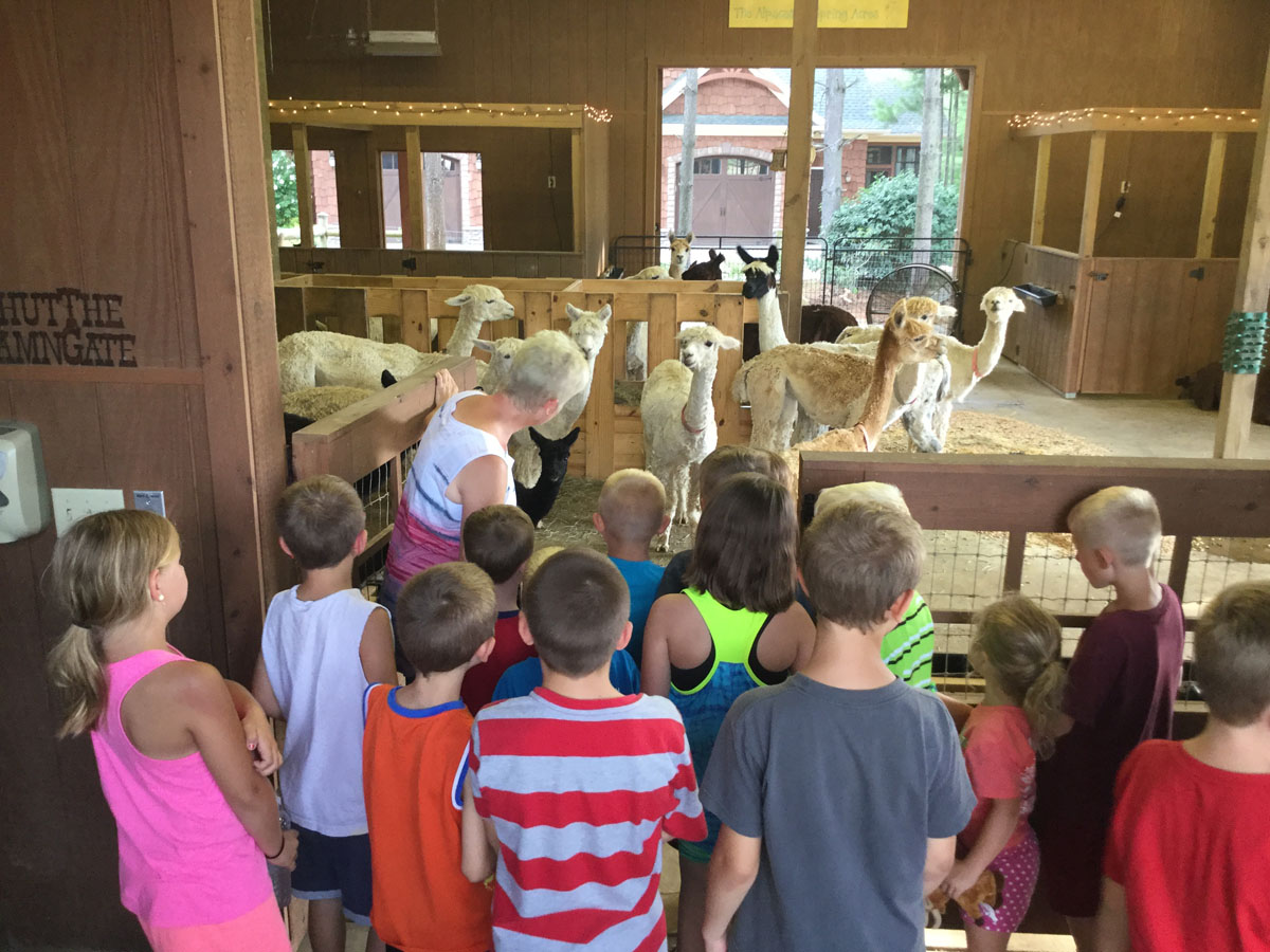 The Alpacas Of Spring Acres 2016 4H Day 4.JPG