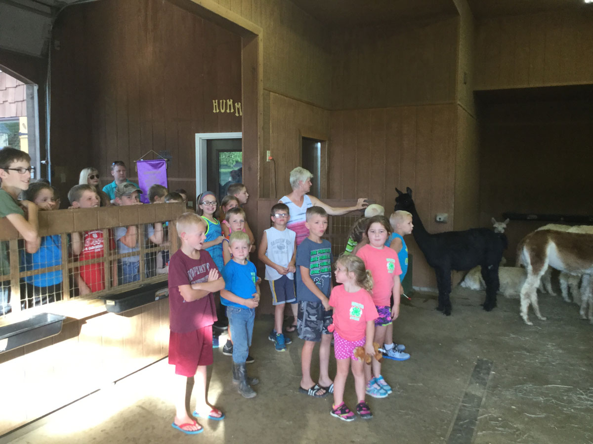 The Alpacas Of Spring Acres 2016 4H Day 6.JPG