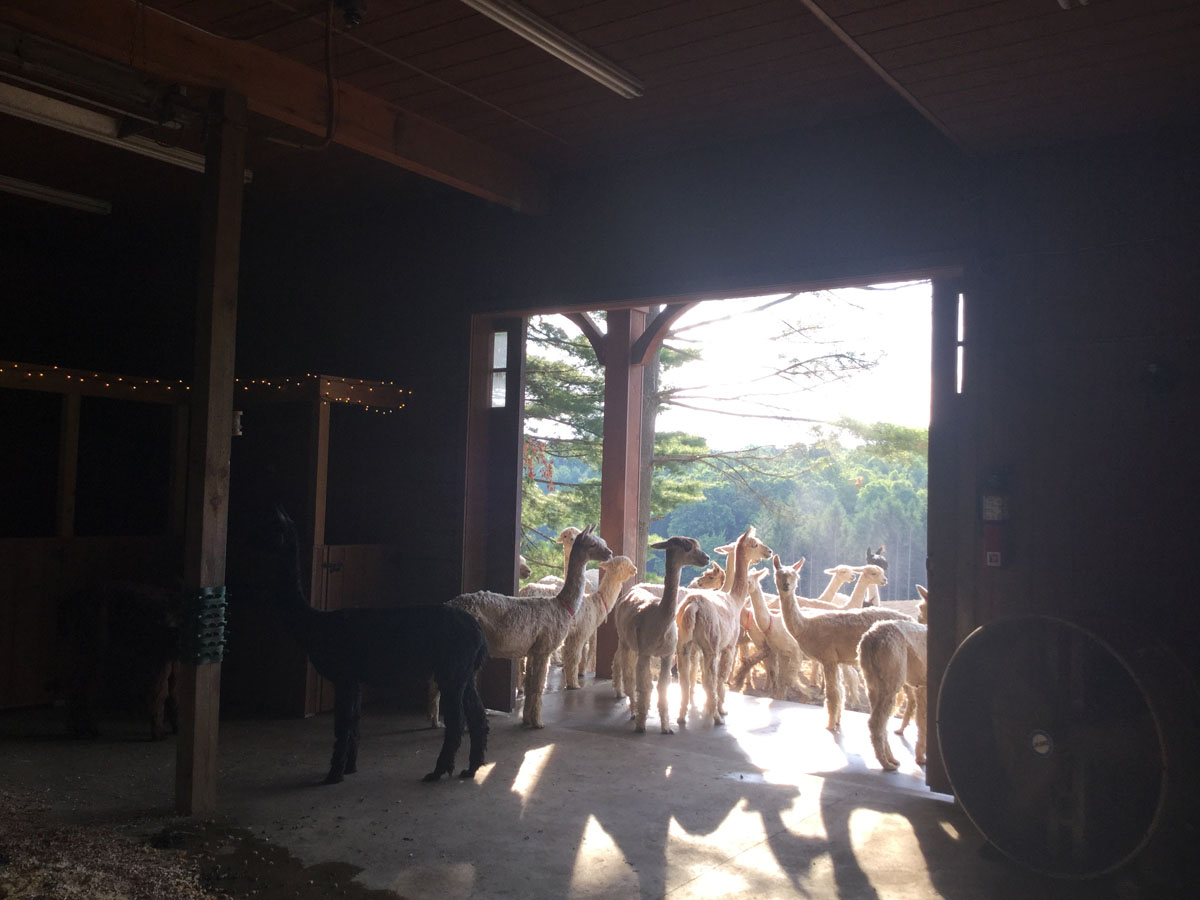 The Alpacas Of Spring Acres 2016 4H Day 7.JPG