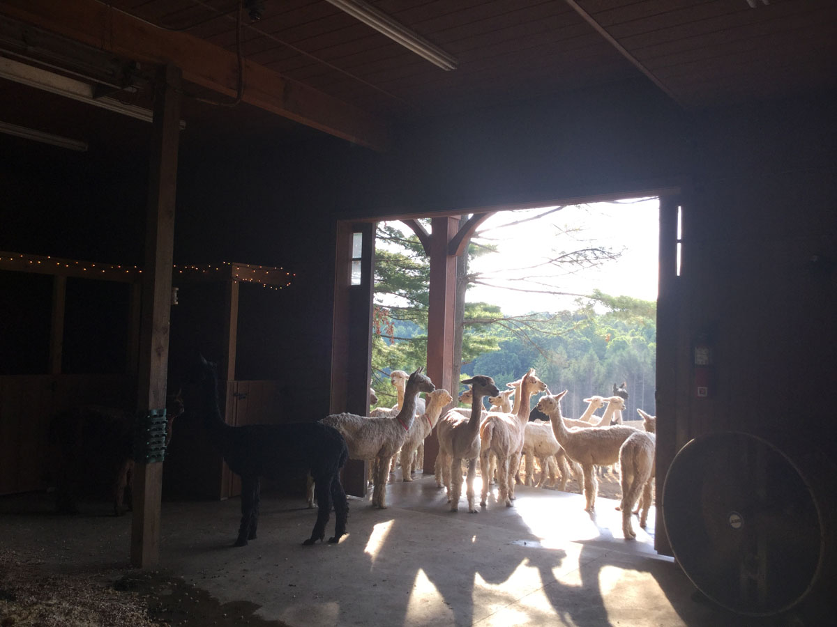 The Alpacas Of Spring Acres 2016 4H Day 8.JPG