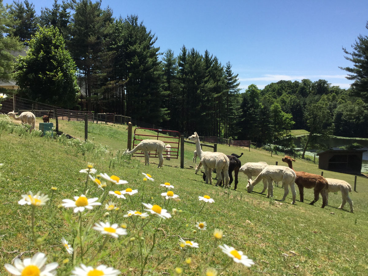 The-Ladies-Of-The-Alpacas-Of-Spring-Acres-1